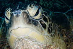 A Male Green turtle (Chelonia mydas) Stock Photography
