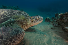 Male green turtle and pyama chromodorid in the Red Sea. Stock Photography