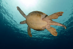 Male green turtle in the Red Sea. Royalty Free Stock Photo
