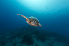 Male green turtle in the Red Sea. Stock Photos