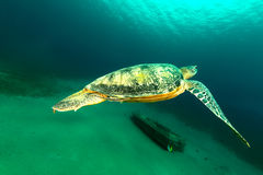 Male green turtle in the Red Sea. Stock Images