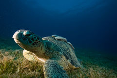 Male green turtle and remora Stock Photography