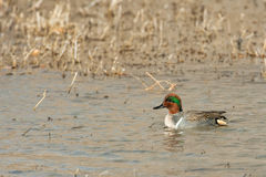 Male Green-Winged Teal Royalty Free Stock Image