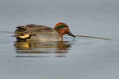 Male Green-winged teal (Anas crecca). In the water Royalty Free Stock Image