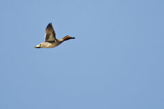 Male Green-Winged Teal Royalty Free Stock Photography