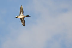 Male Green-Winged Teal Stock Image
