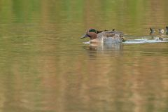 Green-winged Teal. Male Green-winged Teal swimming in the open water of a marsh Royalty Free Stock Images