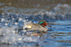 Male Green Winged Teal Swimming in a Water Splash stock image
