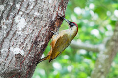 Male green woodpecker in front of the nest hole. A male green woodpecker at the entrance of its nest in a hole in a tree Royalty Free Stock Images