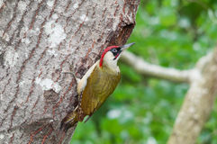 Male green woodpecker at nest. Green woodpecker (Picus viridis) male near the entrance of the nest Royalty Free Stock Image