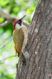 Male green woodpecker Stock Photography