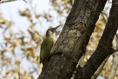 Male green woodpecker on a tree trunk autumn Stock Photos