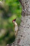 Male green woodpecker on tree trunk Royalty Free Stock Image