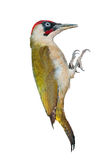 Male green woodpecker on white background Royalty Free Stock Photos