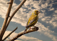 A male Greenfinch Stock Images