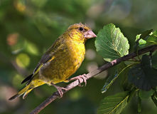 Male Greenfinch Royalty Free Stock Images