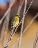 Male Greenfinch on a twig Royalty Free Stock Images