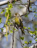 Male greenfinches sitting on birch. Royalty Free Stock Image