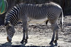 Male Grevy's Zebra. This is an early Spring picture of a male Grevy's Zebra in its compound at the Lincoln Park Zoo located in Chicago, Illinois in Cook Royalty Free Stock Photos