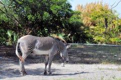Male Grevy's Zebra Stock Image