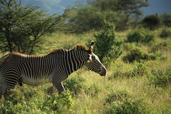 Male Grevy's Zebra Royalty Free Stock Photos