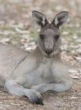 Male grey kangaroo Royalty Free Stock Photo