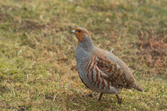 Male Grey partridge Stock Image