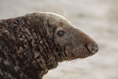 Male grey seal. On the beach Stock Images