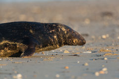 Male grey seal Halichoerus grypus. Male grey seal on beach with sunlight Royalty Free Stock Photos