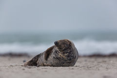 Male grey seal Halichoerus grypus. Male grey seal lying on the beach Stock Photos