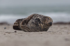 Male grey seal Halichoerus grypus. Male grey seal lying on the beach Royalty Free Stock Photo