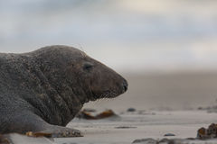 Male grey seal Halichoerus grypus. Male grey seal lying on the beach Royalty Free Stock Image