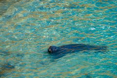 A large male grey seal in shallow water Royalty Free Stock Image