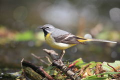 A male grey wagtail bird. Royalty Free Stock Images