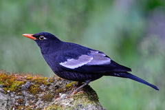 Male Grey-winged Blackbird Stock Images
