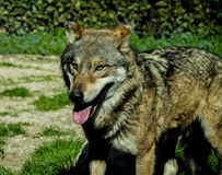 A male grey wolf. An european male grey wolf at zoo Royalty Free Stock Photography