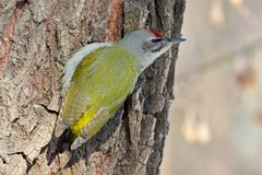 Male grey woodpecker on the tree. C. Lose up portrait Stock Photography
