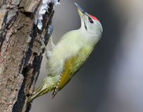 Male grey woodpecker on the tree. In soft sunlight Stock Photo