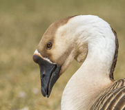 Male Greylag goose portrait Stock Photo