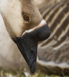 Male Greylag goose portrait Royalty Free Stock Photography