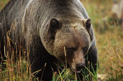 Male Grizzly Bear Stock Image