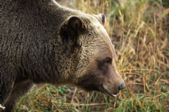 Male Grizzly Bear Royalty Free Stock Photos