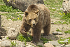 Male Grizzly Royalty Free Stock Photography