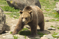 Male Grizzly Stock Photography