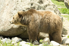 Male Grizzly Stock Photos
