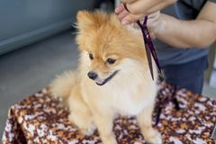 Male groomer haircut Pomeranian dog on the table of outdoor. process of final shearing of a dog`s hair with scissors. Salon for dogs Royalty Free Stock Photo