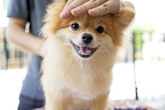 Male groomer haircut Pomeranian dog on the table of outdoor. process of final shearing of a dog`s hair with scissors. Salon for dogs Stock Image