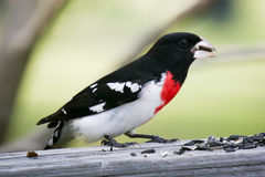 Male Grosbeak bird Stock Photography