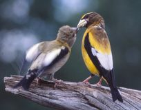 A male Grosebeak feeds a young chick. An Evening Grosbeak feeds one of his brood who is still dependent of the parents for food. Commonly found throughout most Stock Photography