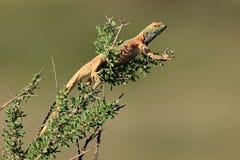 Male ground agama. (Agama aculeata) in breeding colors on a branch, Kalahari desert, South Africa Royalty Free Stock Photos